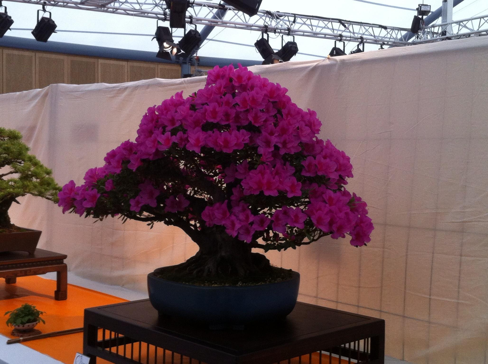 Entretien d 39 un bonsa azal e satsuki taille rempotage for Entretien bonsai interieur