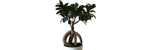 conseils d 39 entretien pour un bonsa ficus ginseng. Black Bedroom Furniture Sets. Home Design Ideas