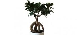 Ficus-Ginseng---ebonsai-Blog