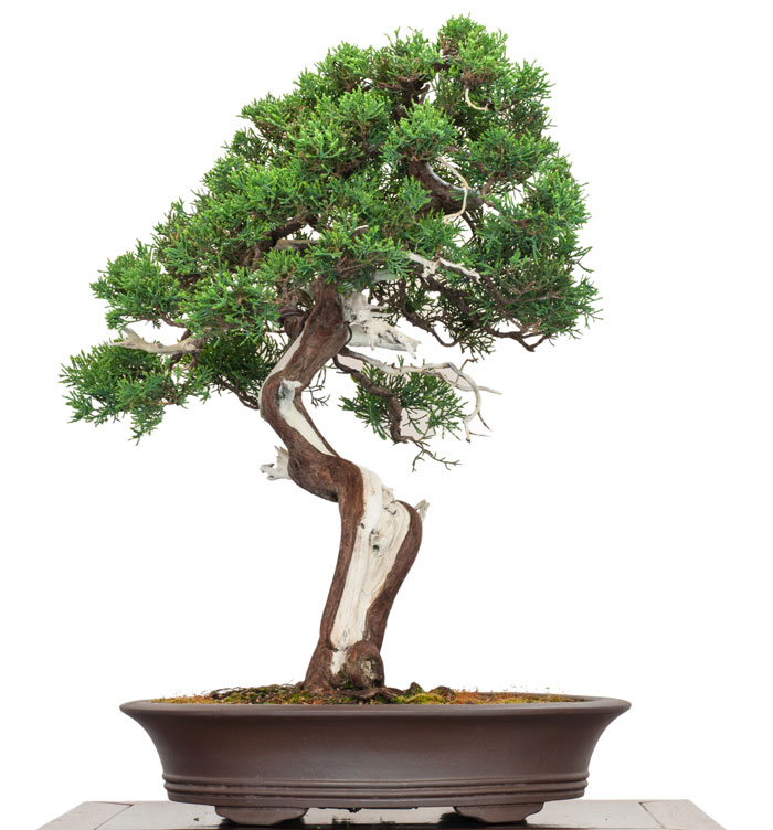 entretien d 39 un bonsai juniperus chinensis gen vrier de chine. Black Bedroom Furniture Sets. Home Design Ideas