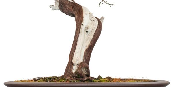 Comment cr er un bois mort sur un bonsa jin et shari - Comment faire un bonsai ...