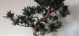 Podocarpus_ebonsai-blog
