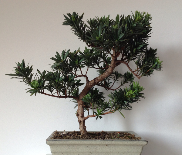 bonsa podocarpus