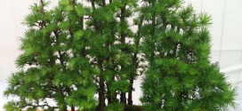 Bonsai-Meleze-Larix