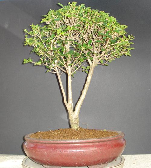 bonsai_ligustrum_blog_ebonsai