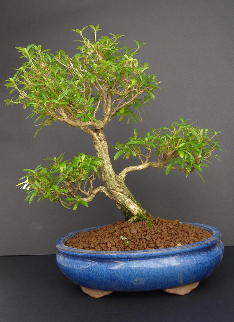 bonsai_serissa_japonica_blog_ebonsai