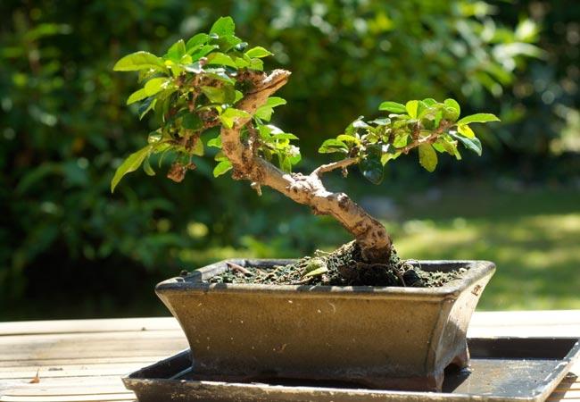 Conseils d\'entretien pour un bonsaï ficus ginseng