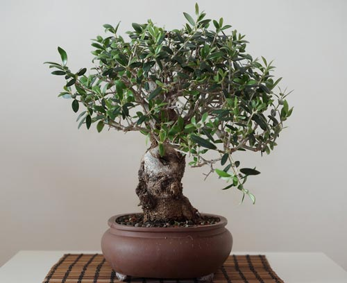 Bonsai olivier comment faire - Comment faire un bonsai ...