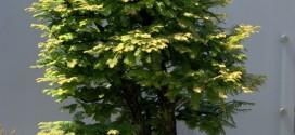 bonsai-metasequoia-ebonsai-blog