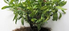 tailler-racines-bonsais