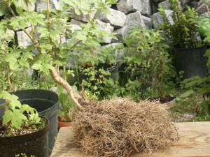 tailler_racines_bonsai._1jpg