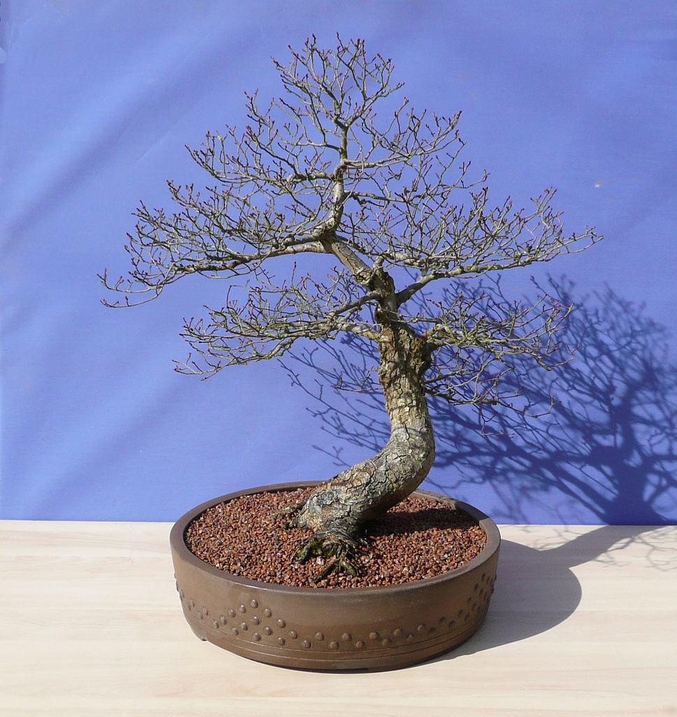pourquoi et comment tailler les racines d 39 un bonsa blog ebonsai. Black Bedroom Furniture Sets. Home Design Ideas