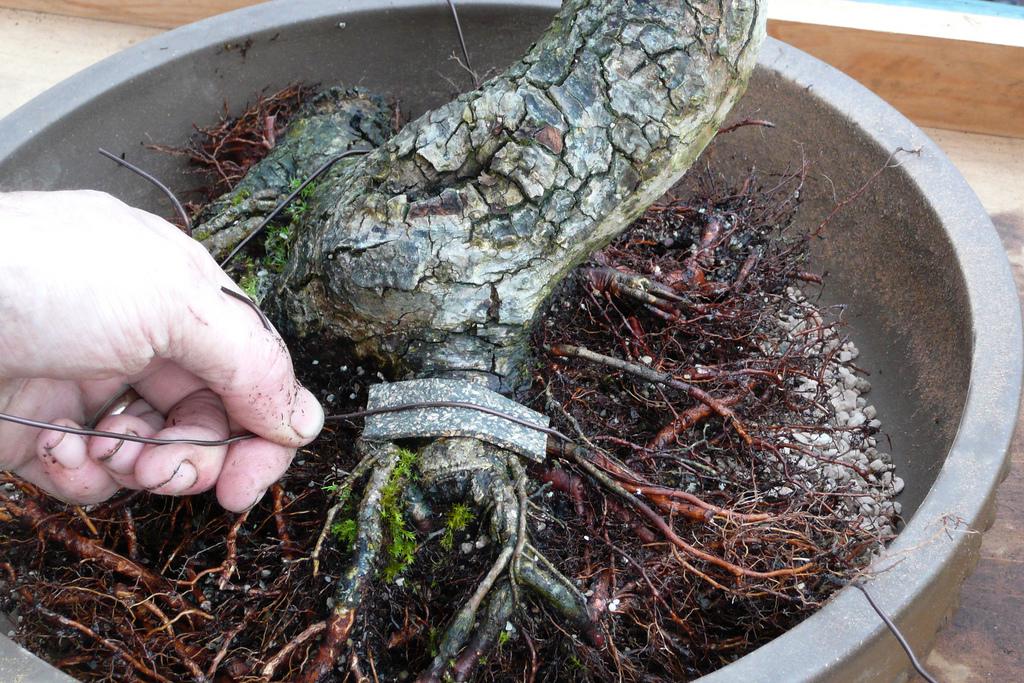 Pourquoi et comment tailler les racines d 39 un bonsa for Comment tailler un potiron