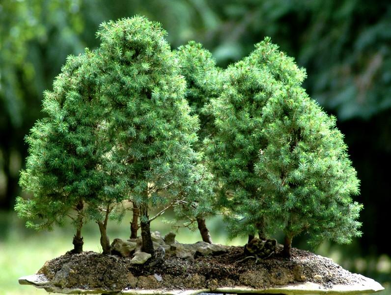 bonsai-meleze-ebonsai-blog