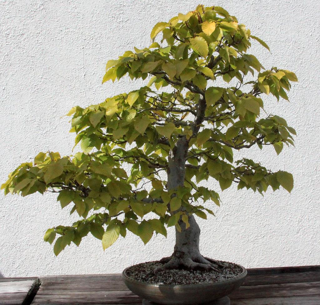 bonsai_hêtre_fagus
