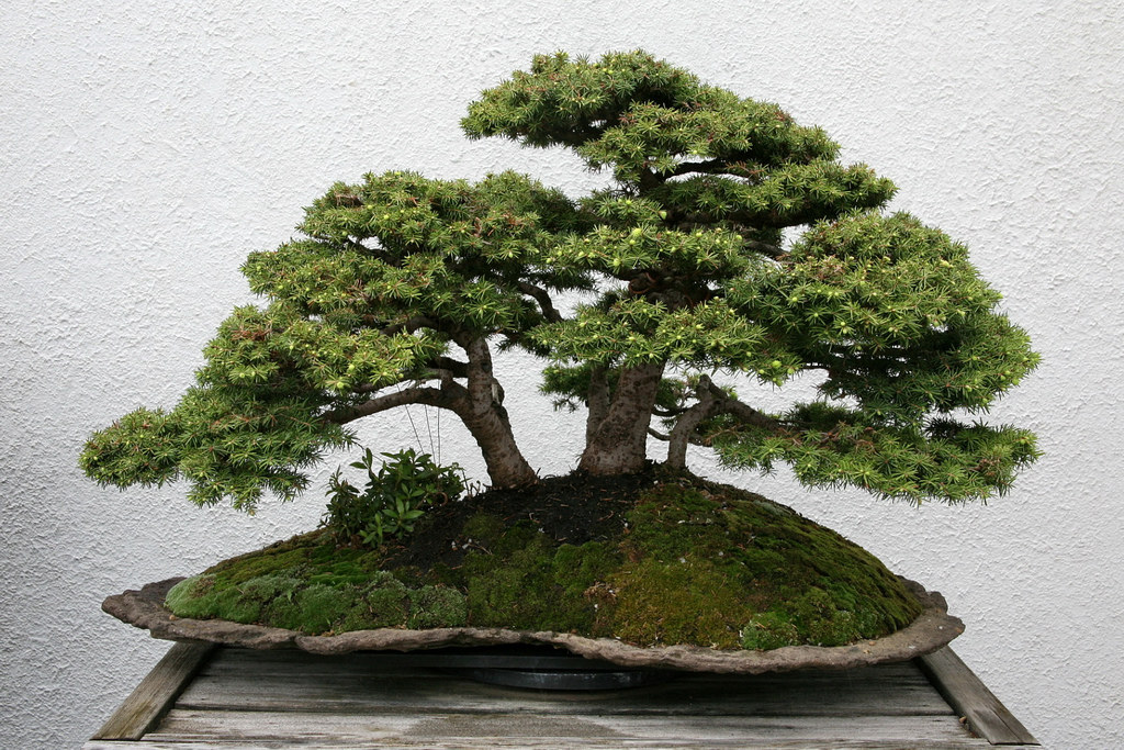 bonsai_picea_1