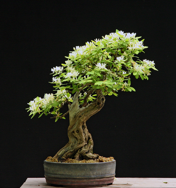Comment transformer un arbre en bonsa yamadori ebonsai blog - Comment tailler un ficus ...