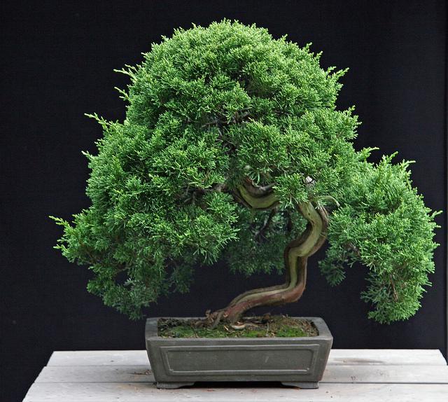 bonsai-juniperus-itoigawa