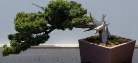 bonsai-taxus-if-ebonsai-blog