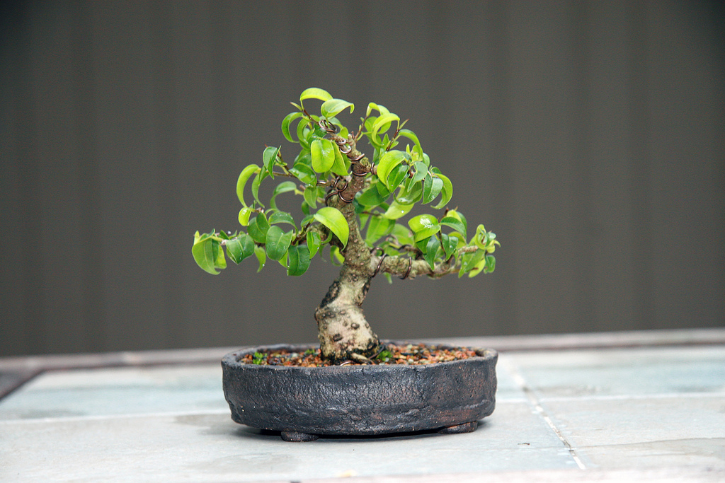 Les mini bonsa s appel s aussi shohin et mame blog - Comment faire un bonsai ...