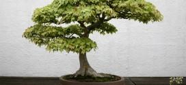 bonsai-erable-de-burger-acer-buergerianum