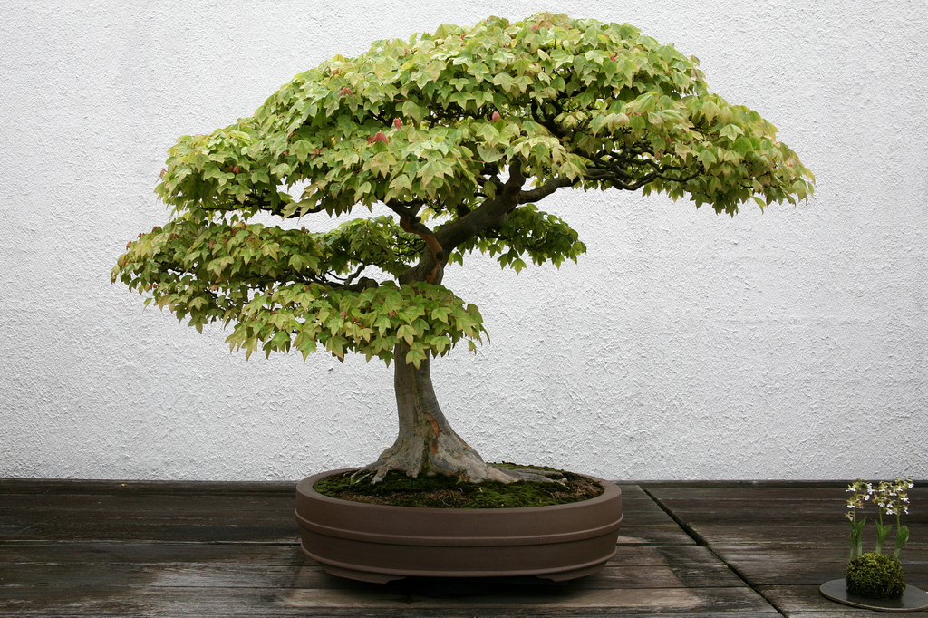bonsai-erable-de-burger-acer-buergerianum