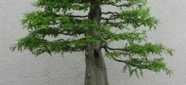 bonsai-style-chokkan
