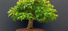bonsai_maple_hokidachi