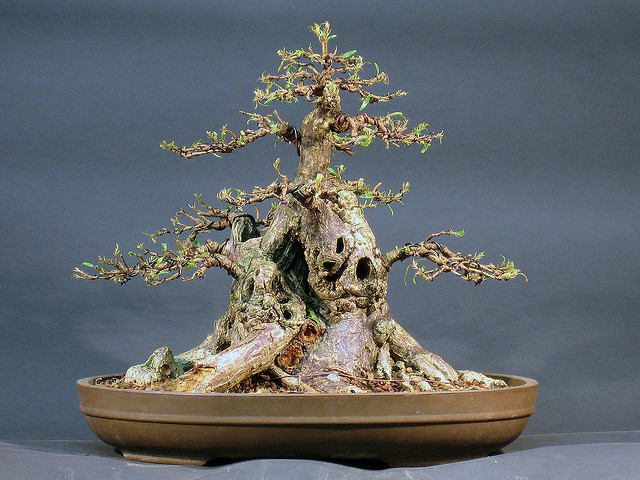 defoliation_bonsai