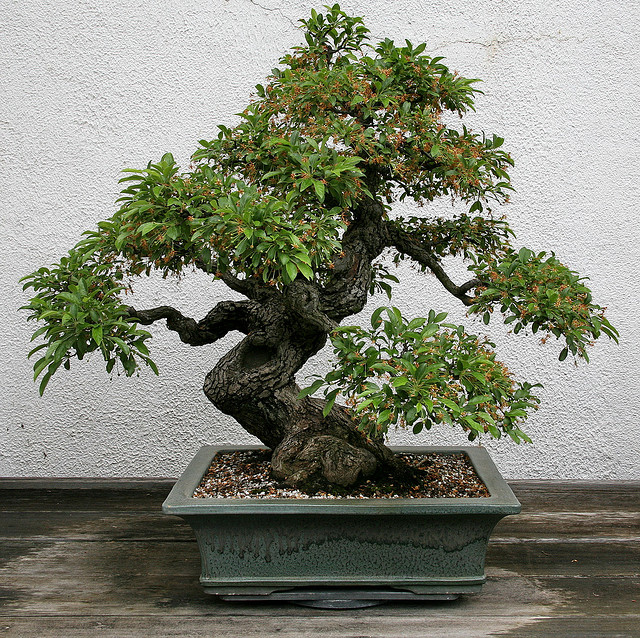 bonsai_malus_pommier