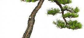 bonsai-style-bunjingi