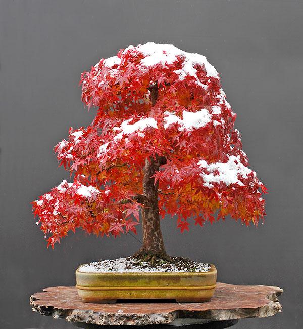 protéger_bonsai_hiver_gel