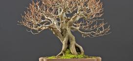 bonsai-effeuillage-defoliation-caducs
