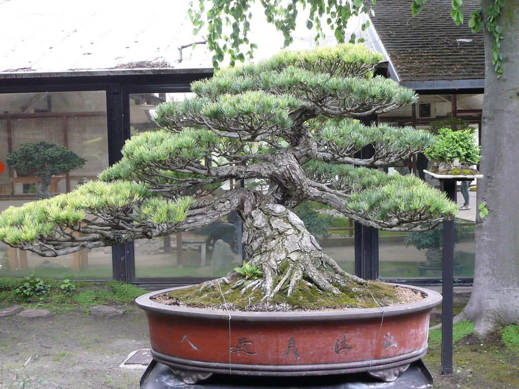 Pinus_parviflora_pentaphylla_01_by_Line1