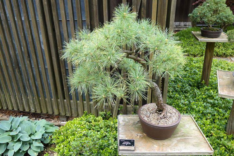 Pinus_strobus_bonsai_-_Dawes_Arboretum